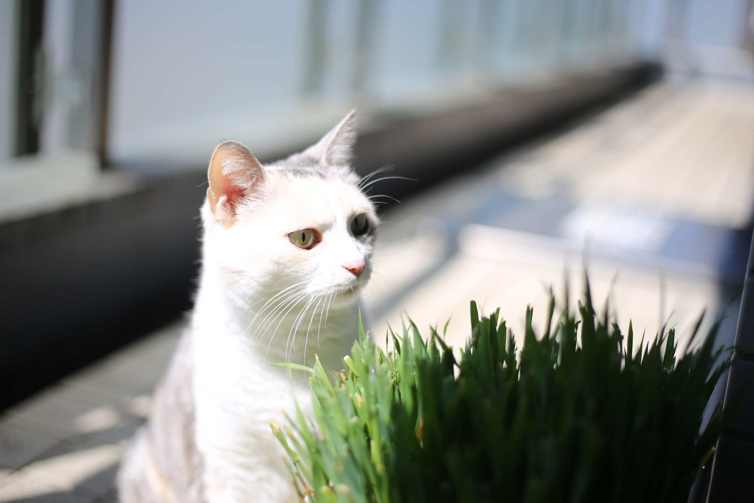 ネコがネコ草を食べる音って聞いたことありますか?